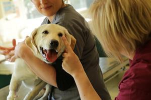 Préparation chirurgie vétérinaire
